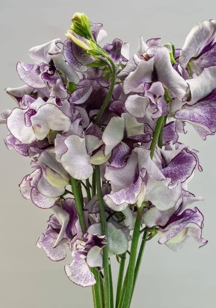 Lathyrus Odoratus Blue Wedding
