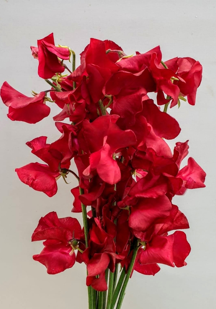 Lathyrus Parfum Deep Red